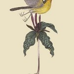 Yellow-Breasted Chat by Mark Catesby - Art Print
