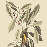 Yellow Titmouse by Mark Catesby - Art Print