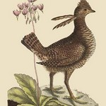 American Partridge by Mark Catesby - Art Print