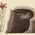 American Swallow by Mark Catesby - Art Print