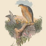 Accipitur Nisus - Sparrow Hawk by John Gould - Art Print