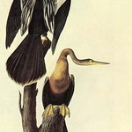 Anhinga by John James Audubon - Art Print