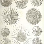Collection of Radiolaria by Ernst Haeckel - Art Print