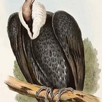 White Rumped Vulture by John Gould - Art Print