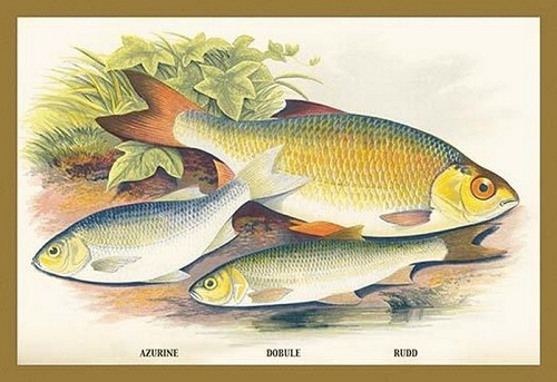 Azurine, Dobule and Rudd by A.F. Lydon - Art Print