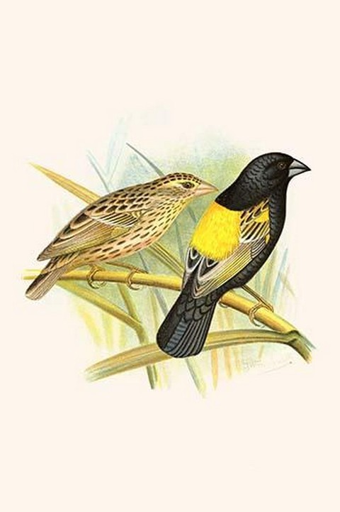 Yellow Shouldered Weaver by Frederick William Frohawk - Art Print