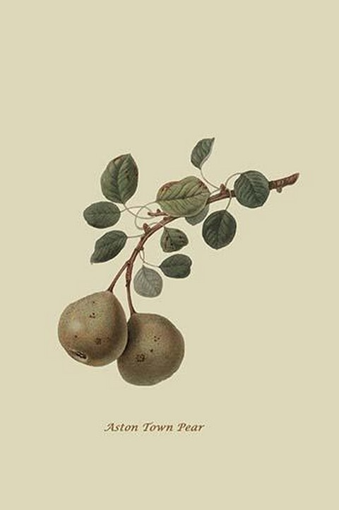 Aston Town Pear by William Hooker #2 - Art Print