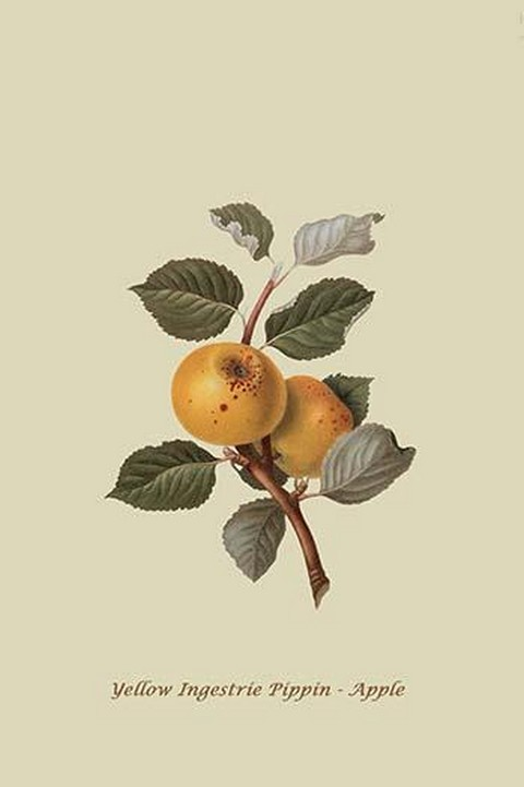 Yellow Ingestrie Pippin - Apple by William Hooker #2 - Art Print