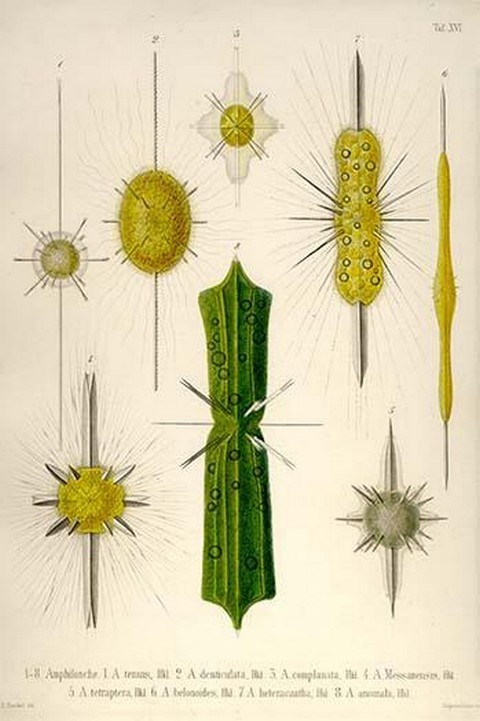 Types of Amphilonche by Ernst Haeckel - Art Print